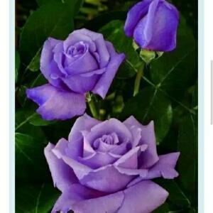 i218387116花儿