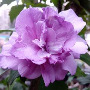 飘零的紫花烂漫