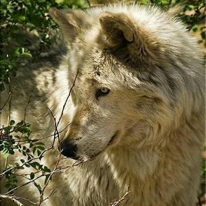 动物图片皓月雪狼