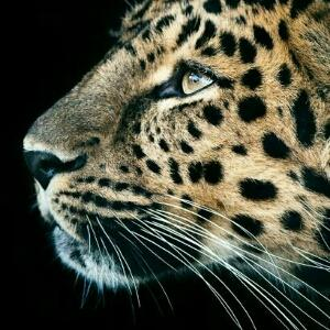 豹 豹子 壁纸 动物 桌面 300_300