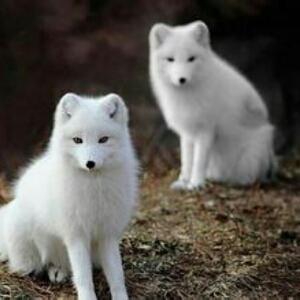 可爱雪狐图片大全
