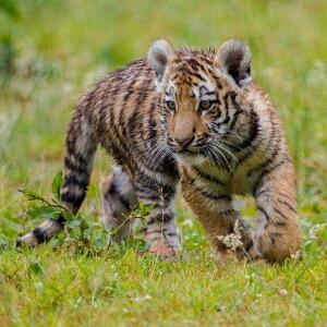 爱吃鱼的小老虎