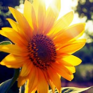忧伤向日葵