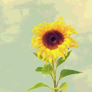 ZY向日葵