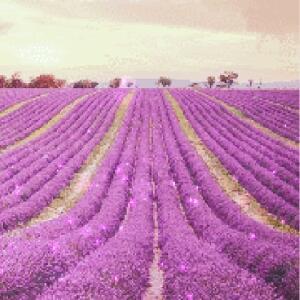 熏衣草的花香