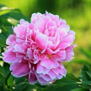 冰璃中的芙蓉花