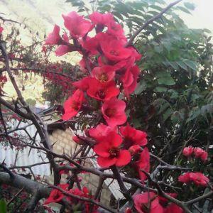 樱桃花开季节