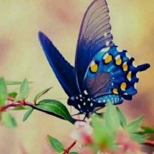 紫色蝴蝶8