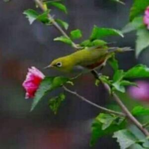 百灵鸟28