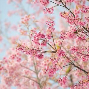 樱花飘落美如你
