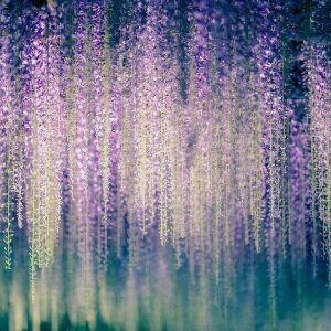 五彩紫薇星
