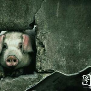 无知的猪小小